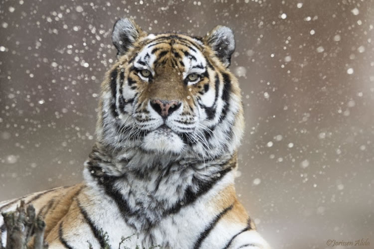26 Spectacular Pictures Of Siberian Tigers In Their Natural Habitat  2