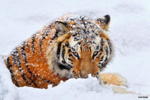 Siberian tiger natural habitat