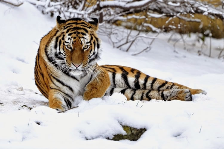 26 Spectacular Pictures Of Tigers In Their Natural Habitat  21