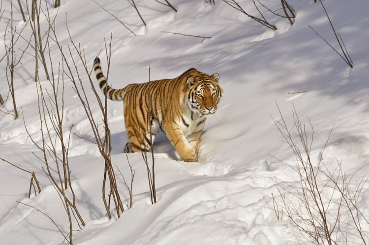 26 Spectacular Pictures Of Siberian Tigers In Their Natural Habitat  22