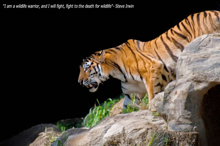 26 Spectacular Pictures Of Tigers In Their Natural Habitat  23