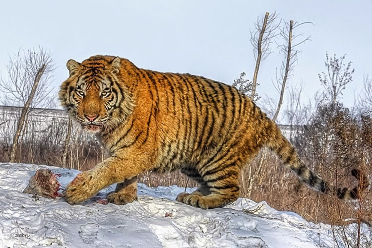 26 Spectacular Pictures Of Tigers In Their Natural Habitat  25