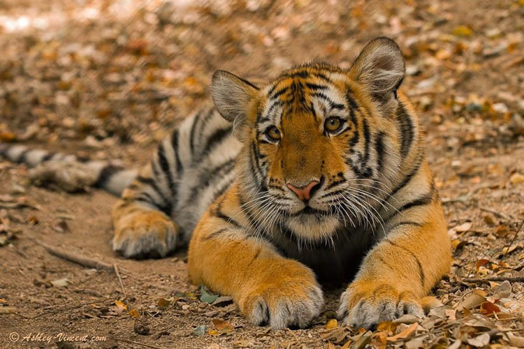 26 Spectacular Pictures Of Siberian Tigers In Their Natural Habitat  3