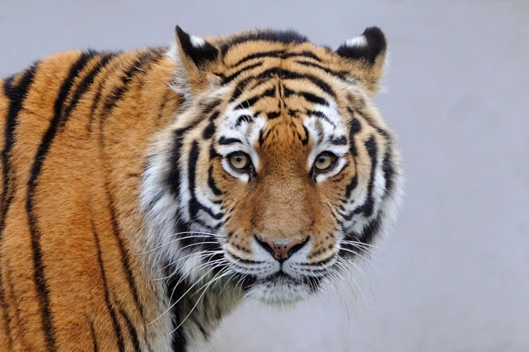 26 Spectacular Pictures Of Siberian Tigers In Their Natural Habitat 5