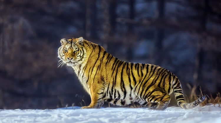 26 Spectacular Pictures Of Siberian Tigers In Their Natural Habitat  6