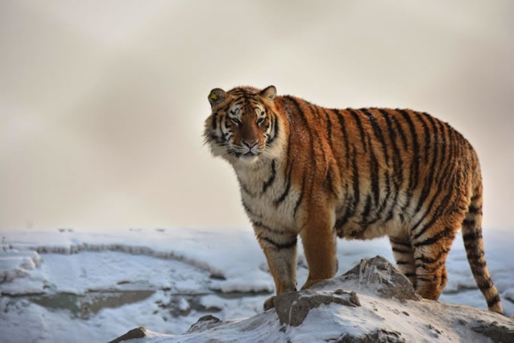 26 Spectacular Pictures Of Siberian Tigers In Their Natural Habitat  7
