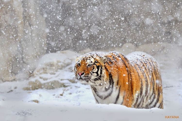 26 Spectacular Pictures Of Siberian Tigers In Their Natural Habitat  8