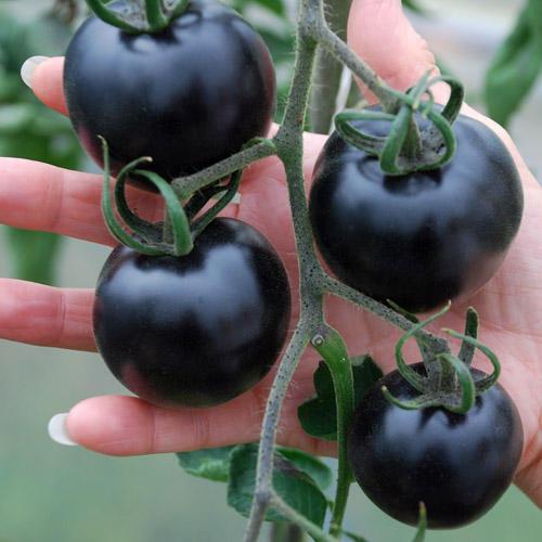 Black Tomatoes (3)
