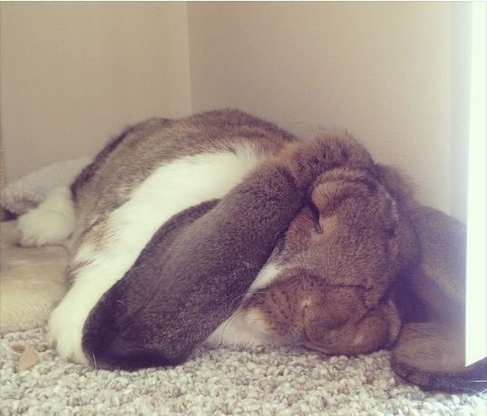 Rabbits Sleepy Time 30 Adorable Snoozing Bunnies (3)
