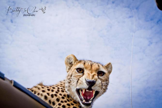 Safari Encounter With Wild Cheetah (1)