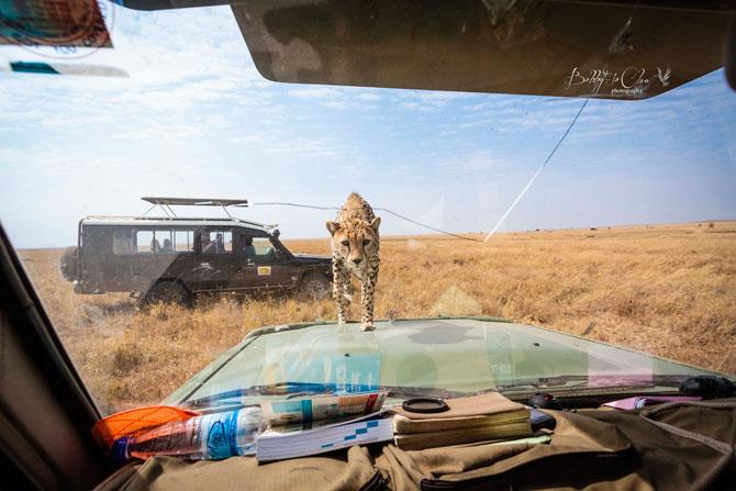 Safari Encounter With Wild Cheetah (2)