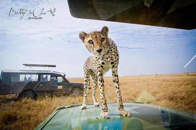Safari Encounter With Wild Cheetah (3)