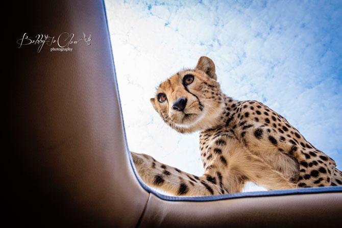 Safari Encounter With Wild Cheetah (4)