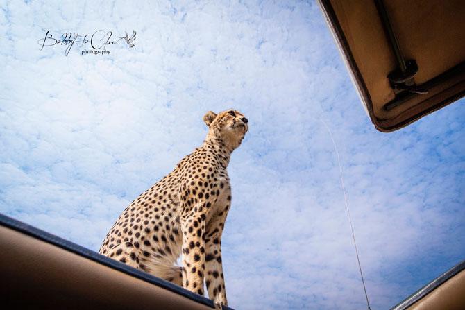 Safari Encounter With Wild Cheetah (5)