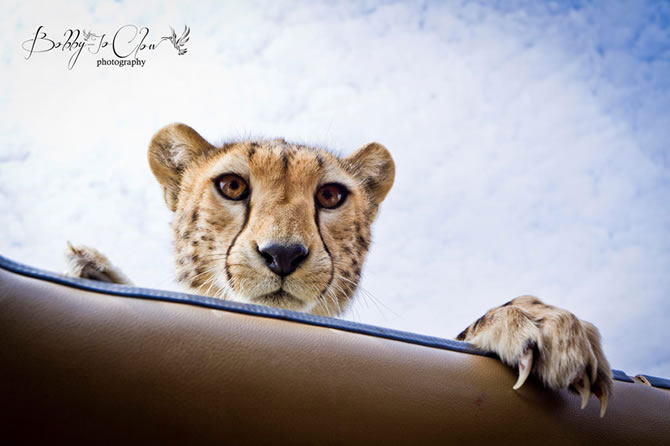 Safari Encounter With Wild Cheetah (6)
