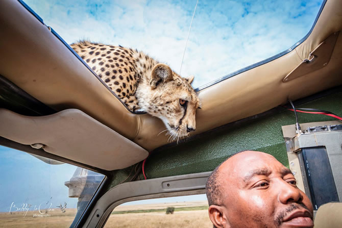 Safari Encounter With Wild Cheetah (7)