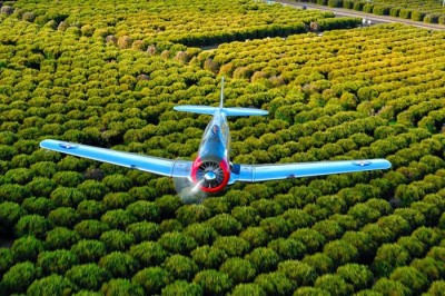 T-6 Texan Over Orange Groves
