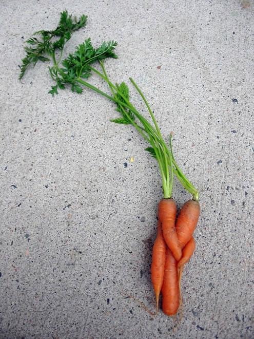 Cuddling Carrots - Vegetables That Are Shaped Like Something Else 11