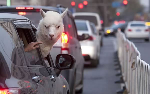 12 Crazy Photos Of Animals In Transport 1