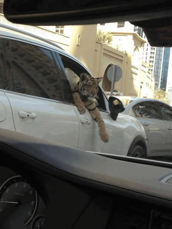 12 Crazy Photos Of Animals In Transport 4