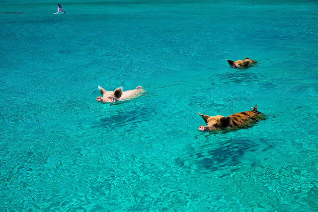 Bahamas Vacation Spots Are Also Home To Swimming Pigs 1
