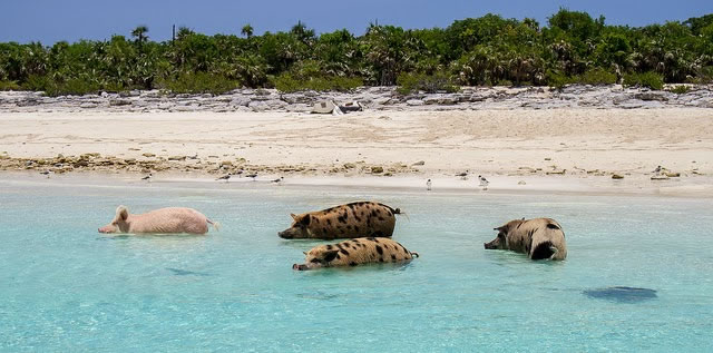 Bahamas Vacation Spots Are Also Home To Swimming Pigs 10