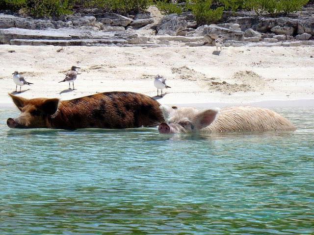 Bahamas Vacation Spots Are Also Home To Swimming Pigs 12
