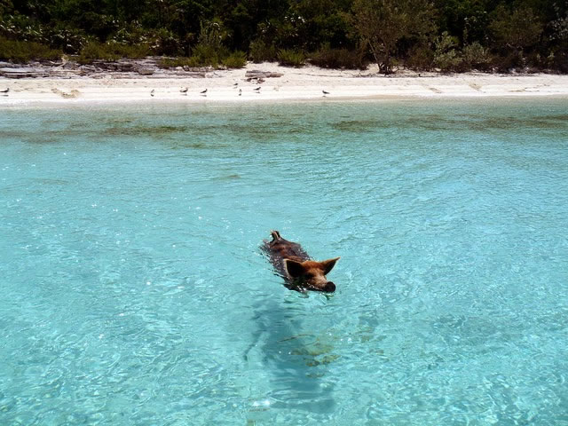 Bahamas Vacation Spots Are Also Home To Swimming Pigs 13
