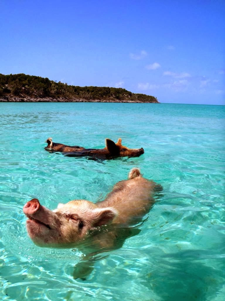 Bahamas Vacation Spots Are Also Home To Swimming Pigs 17