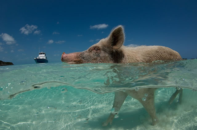 Bahamas Vacation Spots Are Also Home To Swimming Pigs 2