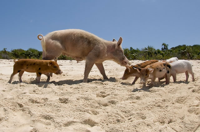 Bahamas Vacation Spots Are Also Home To Swimming Pigs 3