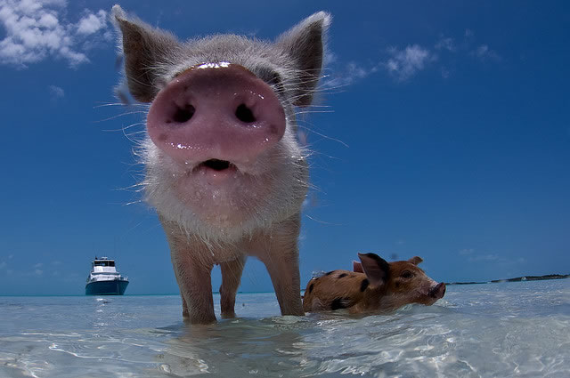 Bahamas Vacation Spots Are Also Home To Swimming Pigs 5
