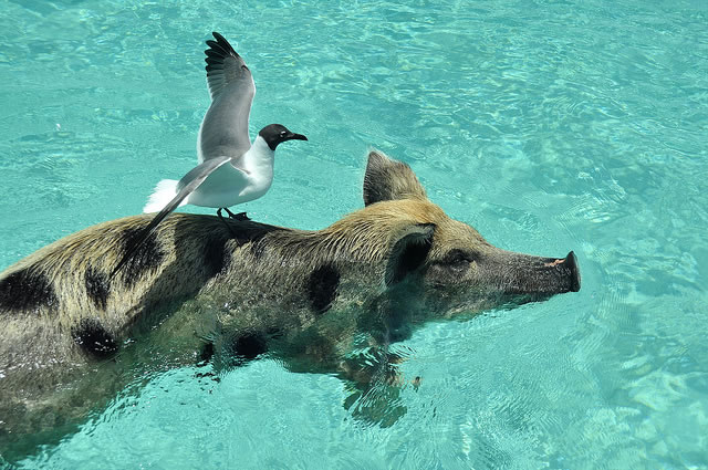 Bahamas Vacation Spots Are Also Home To Swimming Pigs 6