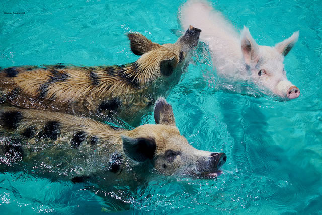 Bahamas Vacation Spots Are Also Home To Swimming Pigs 8