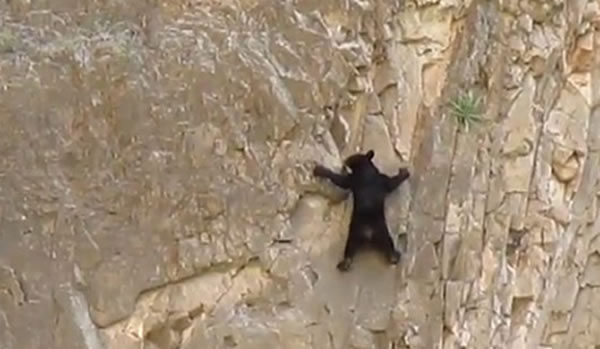 Did You Know Bears Like To Rock Climb - Here's Proof