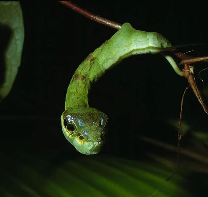 Meet The Caterpillar That Disguises Itself As A Creepy Snake 1