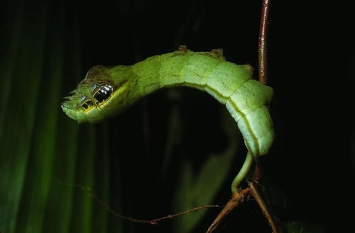 Meet The Caterpillar That Disguises Itself As A Creepy Snake 3