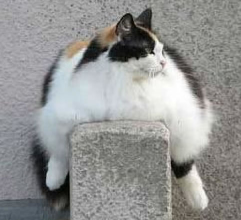 Overweight Cats Pictures - Who Wants A Fatty Catty 11