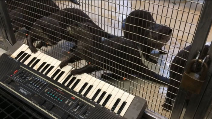 Zoo Gives Otters A Keyboard To Play With - Watch Their Reaction