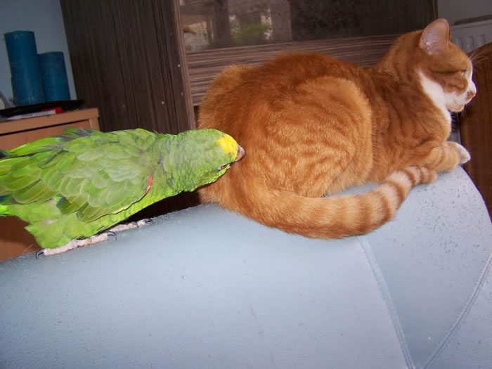 20 Adorable Pictures Of Cats And Parrots As Friends 12