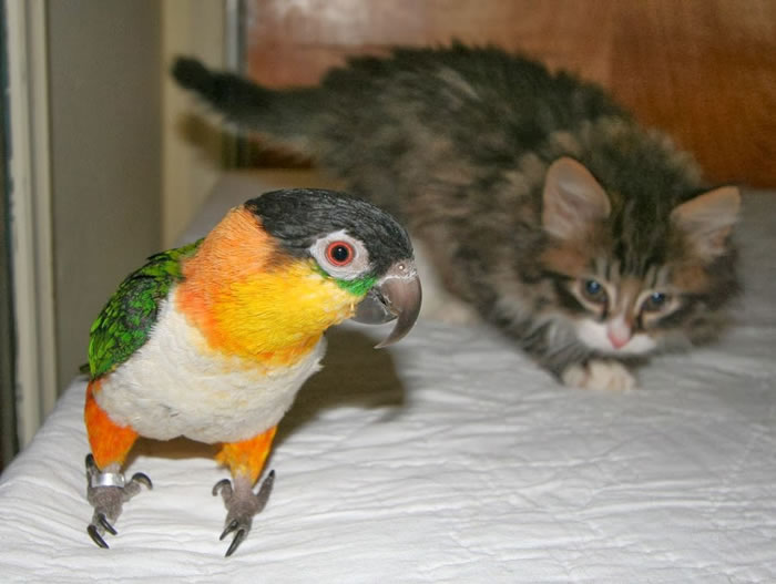 20 Adorable Pictures Of Cats And Parrots As Friends 18