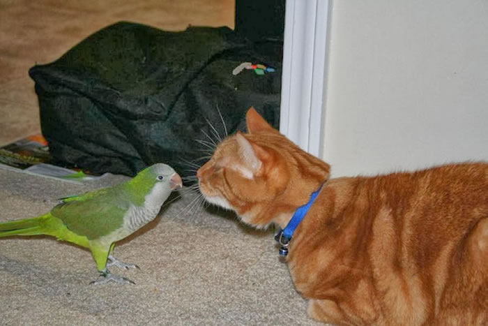 20 Adorable Pictures Of Cats And Parrots As Friends 7