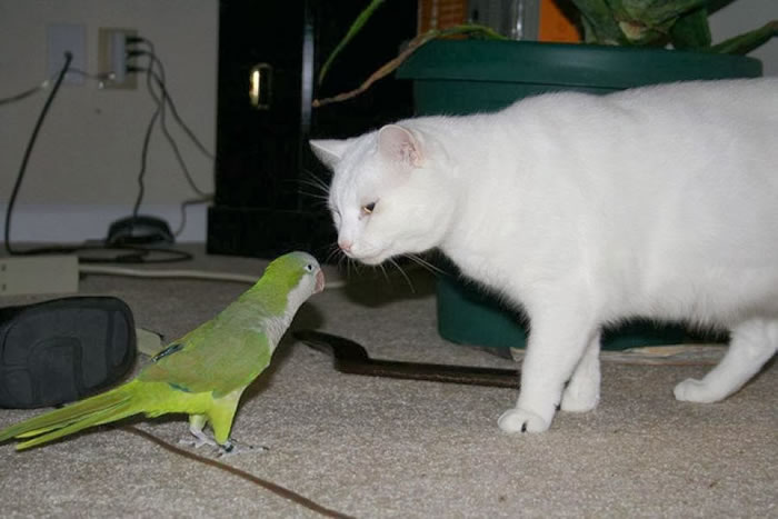 20 Adorable Pictures Of Cats And Parrots As Friends 8
