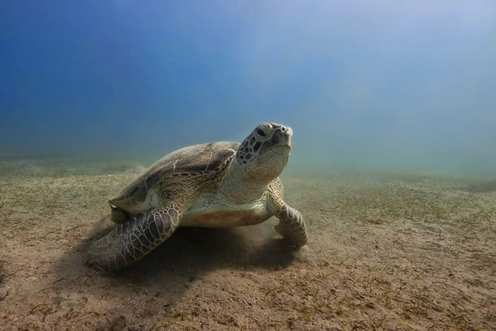 28 Amazing Pictures Of Turtles 10