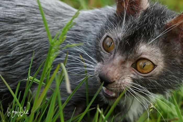 Cat Breeder Discovers Cat Species That Looks Like Werewolfs 1