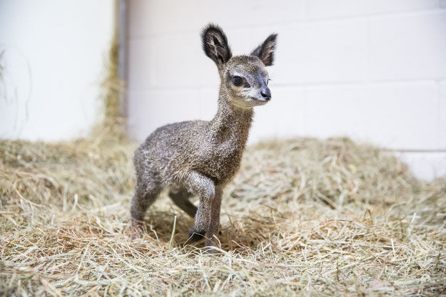 Cute Baby Dwarf Antelope Becomes New Resident At Chicago Zoo 1