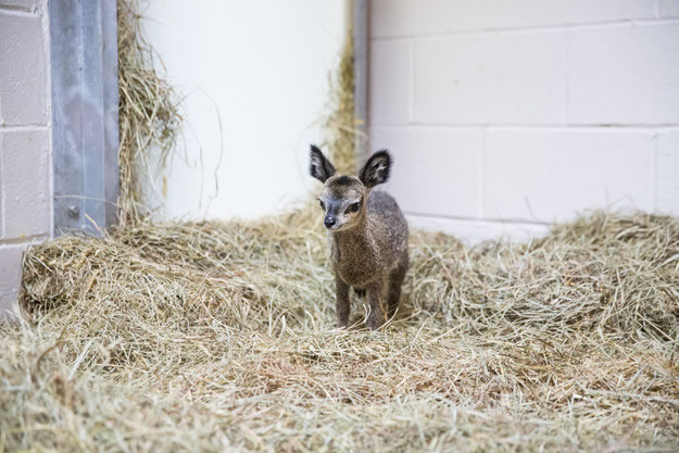 Cute Baby Dwarf Antelope Becomes New Resident At Chicago Zoo 2
