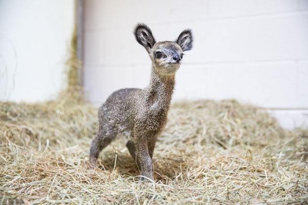 Cute Baby Dwarf Antelope Becomes New Resident At Chicago Zoo 3