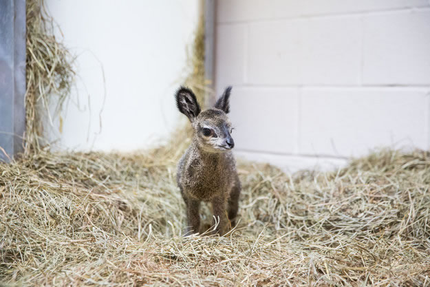 Cute Baby Dwarf Antelope Becomes New Resident At Chicago Zoo 4