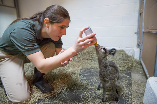 Cute Baby Dwarf Antelope Becomes New Resident At Chicago Zoo 5
